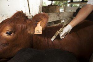 Analizan en Misiones la estrategia de vacunación antiaftosa y antibrucélica