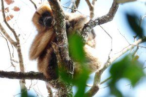 Monos en riesgo: tienen menos diversidad y podrían ser más vulnerables a la fiebre amarilla