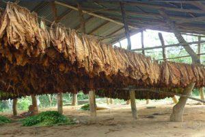 Mañana empieza a discutirse en Agro el precio del tabaco