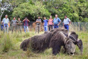 El Portal Carambola del parque Iberá recibió a su primer oso hormiguero