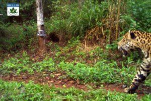 Las cámaras de la Red Yaguareté registraron un ejemplar en Misiones