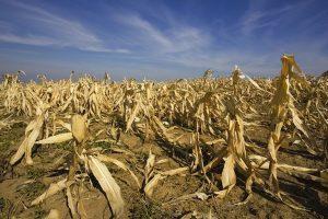 El efecto de la sequía en la producción de la soja: Un Cisne Negro