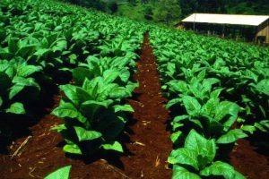 En San Vicente se realizará la jornada nacional de Tabaco