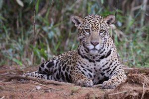 El Ministerio de Ambiente evaluó las medidas para proteger al yaguareté