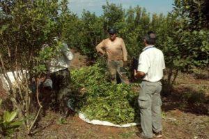 Operativos de control enplantación de yerba mate detectaron fallas en la seguridad de los trabajadores