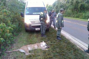 Guardaparques proponen medidas para prevenir atropellamientos de la fauna misionera