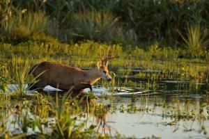 Buscan reintroducir el ciervo de los pantanos en El Impenetrable