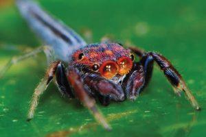 Presentaron libro sobre las arañas saltarinas de Misiones