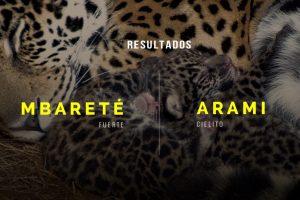 Los cachorros de yaguareté del Iberá ya tienen nombre