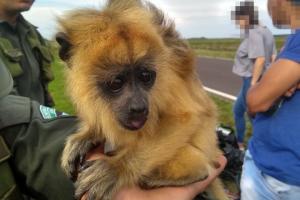 Rescatan una cría de mono que era transportada en un vehículo