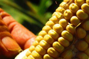 Agroindustria y Maizar acordaron desarrollar maíz de alta productividad en Misiones y Corrientes
