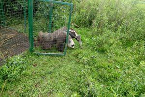 Corrientes: Liberaron un oso hormiguero en San Nicolás, Iberá