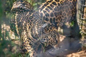 Tras los días en cuarentena, llegaron alParque Iberá dos nuevas hembras de Yaguareté