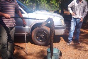 Rescataron una enorme yarará en Posadas