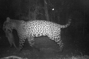 Impresionante foto de un yaguareté llevando a su presa en Andresito captada con una «cámara trampa»