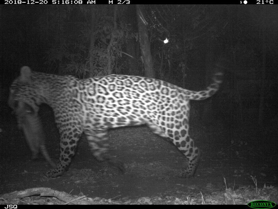 """Impresionante foto de un yaguareté llevando a su presa en Andresito captada con una """"cámara trampa"""""""