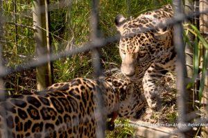 La crónica de la llegada de las yaguaretés Juruna y Mariua a los esteros del Iberá