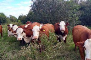 En abril la faena bovina cayó un 19 por ciento en Misiones