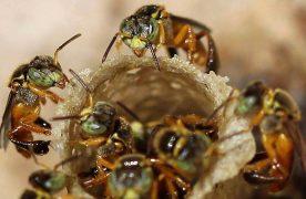 Miel de Yateí: el producto elaborado por abejas sin aguijón más demandado en el mercado