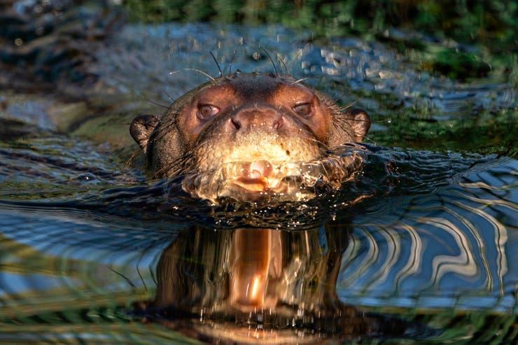 Alondra, la nutria gigante que ya nada en los Esteros del Iberá