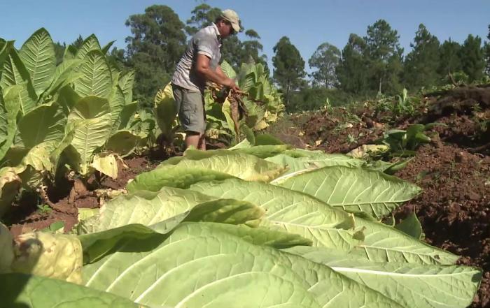 Esta semana productores tabacaleros podrán vender el excedente