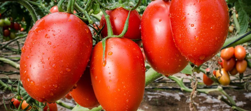 No dijo ¡Eureka! pero le dio vida a los tomates misioneros