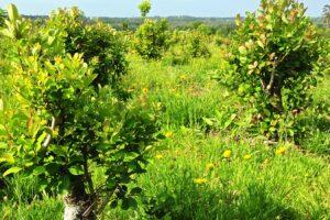 Yerba mate: el INYM extiende suspensión de cosecha y recomienda dejar de plantar por dos años pero evita la «cupificación»