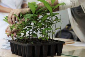 Yerba Mate: obtienen plantines un 30% más altos y con hojas más grandes