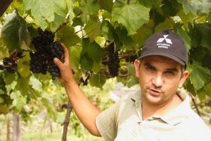 Se produjeron 800 mil kilos de uva misionera en la cosecha que finalizó en enero