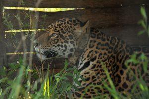 Amores felinos: dos yaguaretés se disputarán el amor de Tobuna