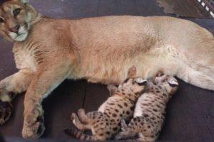 Nacieron dos pumas en el Zoo de Asunción