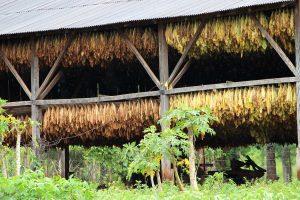 Passalacqua anunció que el viernes se paga tabaco Burley