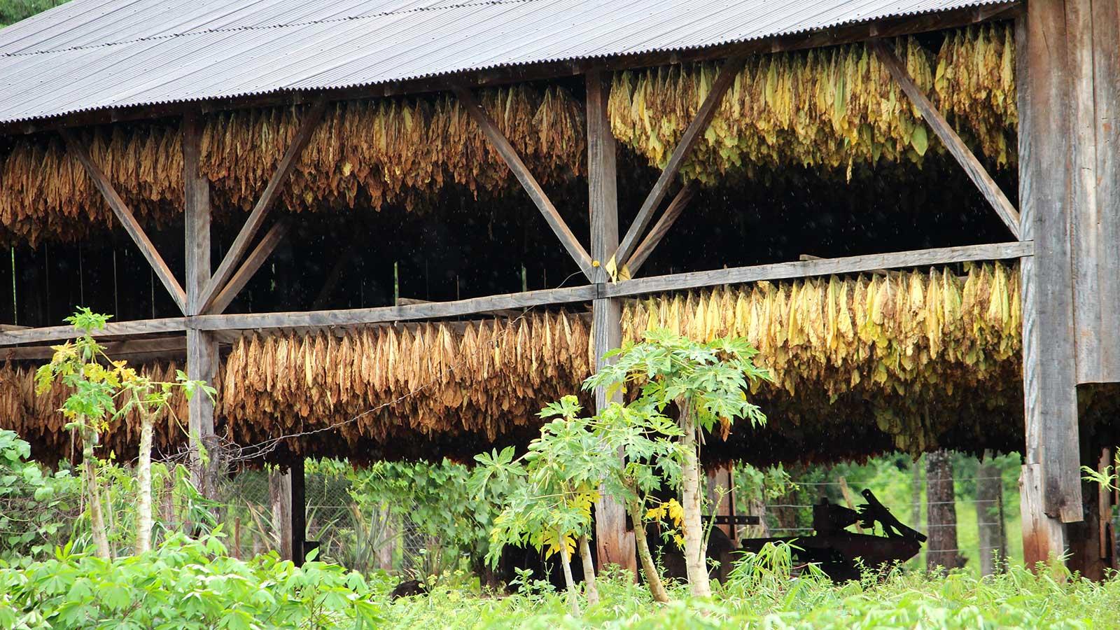 Tabaco: El próximo viernes abonarán $35 millones a productores misioneros