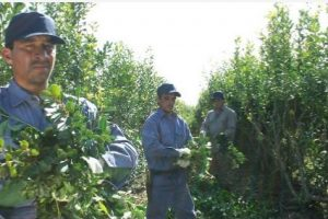 Oficinas en San Ignacio, Santo Pipó y El Alcázarpara el registro de productores y de yerbales
