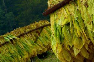 FET: Este jueves pagan a tabacaleros más de 45 millones de pesos