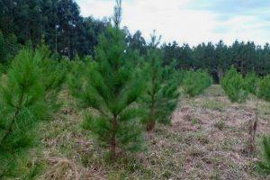 Abonaran más de 26.000.000 de pesos para pagos a planes forestales