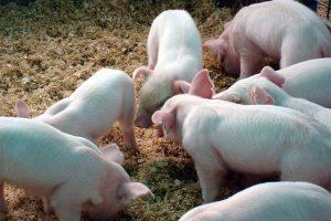 Luego de un 2018 adverso, ¿los cerdos tendrán revancha?