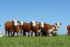 Crece el consumo de carne misionera y apuntan a mejorar forraje y pasturas