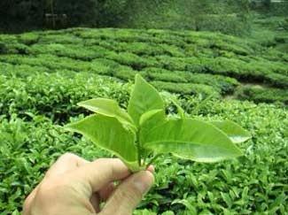 Destacan al té misionero por los beneficios que tiene para la salud humana