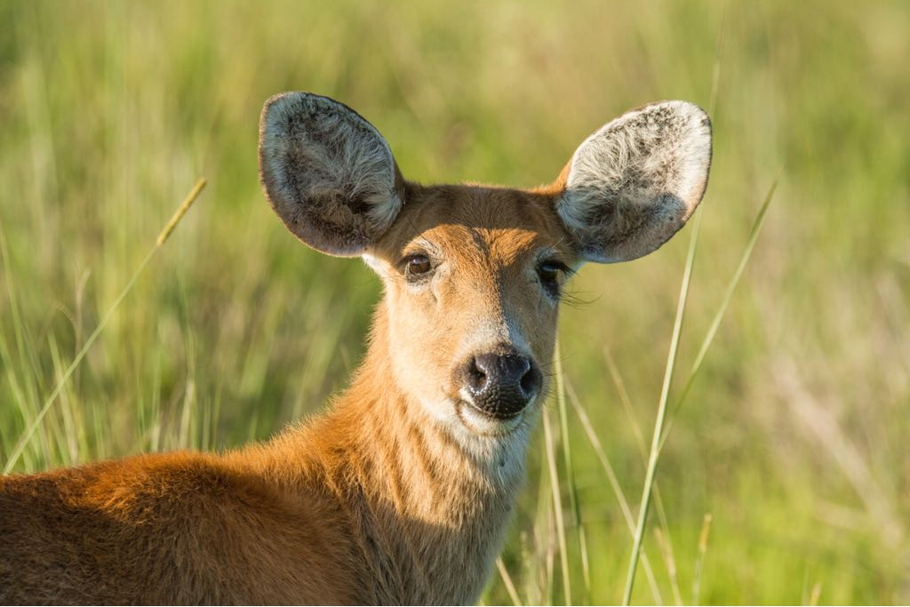 Primeras experiencias de manejo del ciervo de los pantanos en Iberá