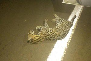 Atropellan y matan a un Margay en el parque nacional Iguazú