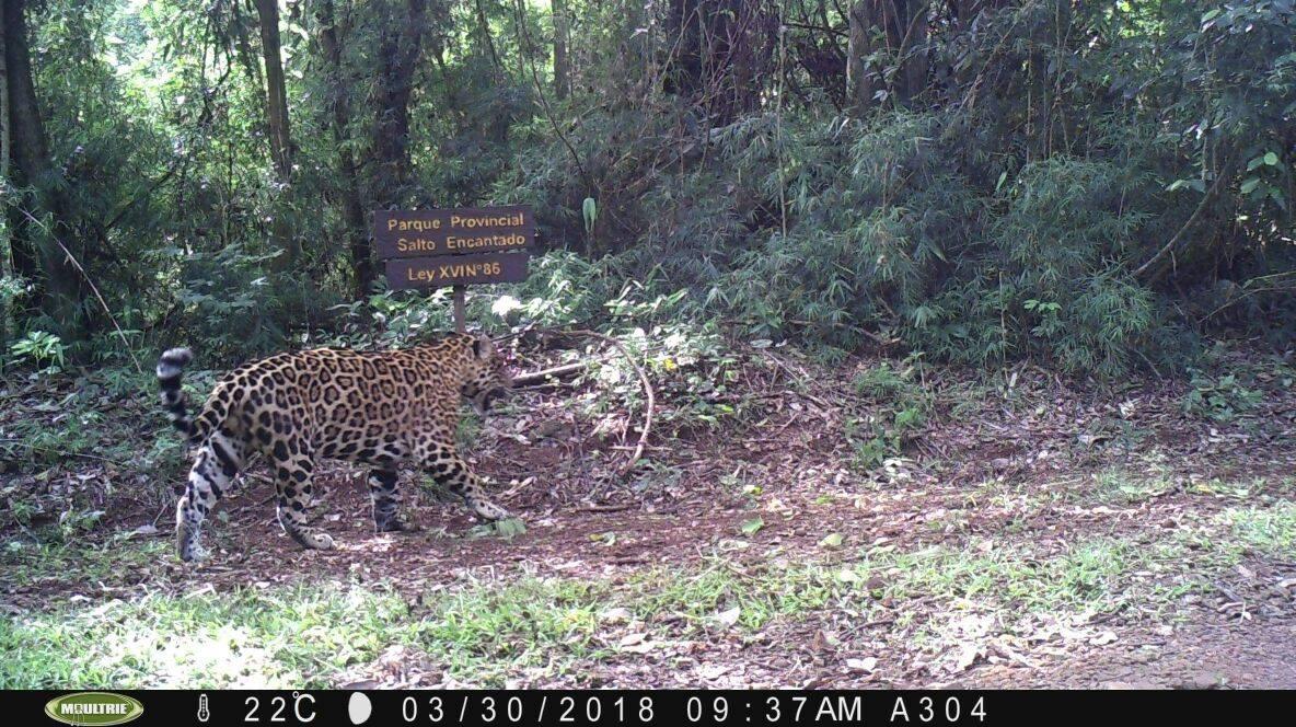 Ambiente y PNUD lanzarán la convocatoria para proyectos de conservación del yaguareté