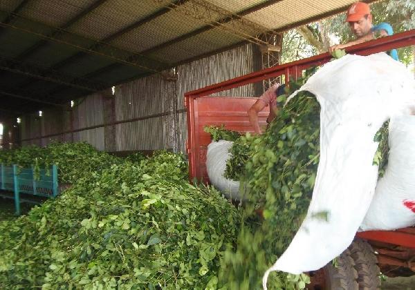 La Cooperativa de Colonia Guaraní exportará yerba molida a Chile y Japón