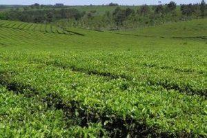 Destacan el fuerte trabajo en el agregado de valor y diversificación del té misionero para ampliar mercados