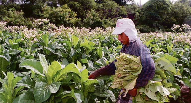 Pagarán este viernes más de más de 111 millones a tabacaleros de Misiones