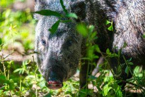 El pecarí de collar cuenta con un nuevo núcleo de población en el parque Iberá