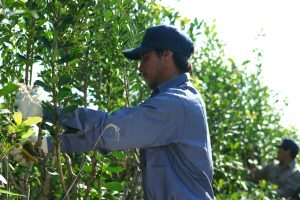 Acuerdo en el INYM, $15,25 el kilo de hoja verde para la zafriña