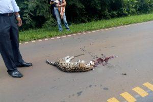 Atropellamiento de animales: Ecología inició un sumario y crearán el registro de conductores infractores