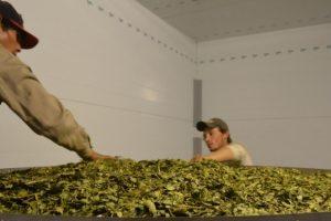 Yerbateros misioneros piden actualización del precio de la hoja verde