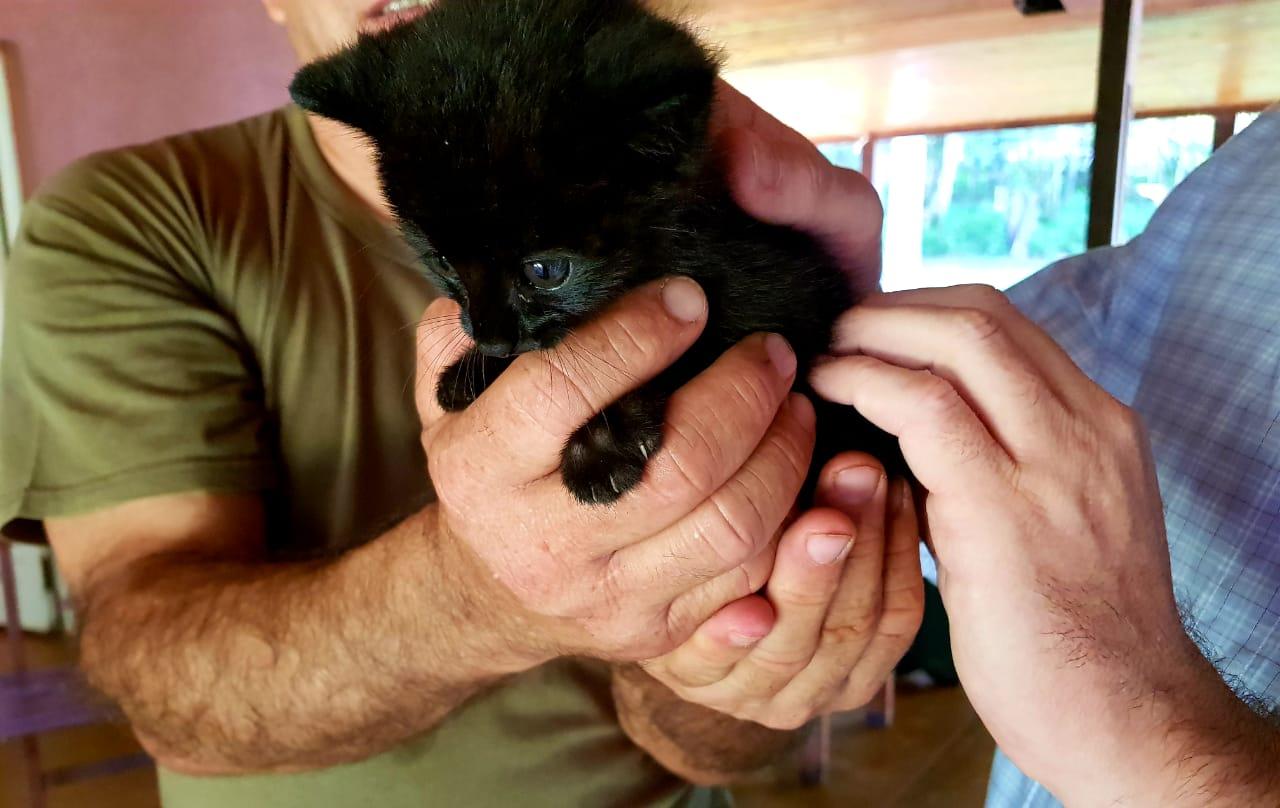 Por primera vez se vio un gato tirica melánico en Misiones